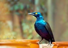 Beautiful shiny bird. Cape Glossy Starling, Royalty Free Stock Image