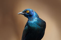 Beautiful shiny bird in the green forest. Cape Glossy Starling, Lamprotornis nitens, sitting on the tree branch in the nature habi Royalty Free Stock Images