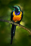 Beautiful shiny bird in the green forest. Golden-breasted Starling, Cosmopsarus regius, Golden-breasted Starling sitting on the tr Royalty Free Stock Images