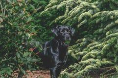 Beautiful Shiny Black Labrador royalty free stock photo