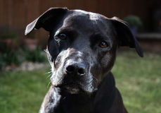 Beautiful shiny black Labrador Staffordshire Bull Terrier crossbreed dog with kind eyes Stock Photography