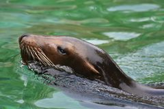 Beautiful Shiny Brown Sea Lion Swimming Around. Beautiful Sea Lion Cooling off in the Water Stock Photo