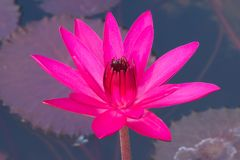 A beautiful, shocking pink, fully-bloomed lotus flower, in a pond in a lush Thai garden park. A beautiful, shocking pink, fully-bloomed lotus flower, in a pond Royalty Free Stock Photography
