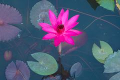 A beautiful, shocking pink, fully-bloomed lotus flower, in a pond in a lush Thai garden park. A beautiful, shocking pink, fully-bloomed lotus flower, in a pond Royalty Free Stock Images