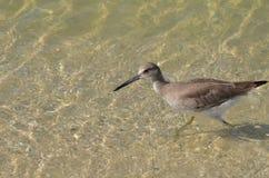 Beautiful Shorebird Wading in Shallow Water Royalty Free Stock Photos