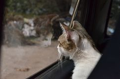 Beautiful shorthaired white cat with gray spots looking out the car window at his reflection. royalty free stock photos