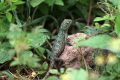 Agama lizard stock images