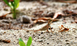 Alert chameleon Royalty Free Stock Image