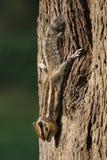 Alert squirrel Stock Images