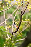 Asian paradise flycatcher female Stock Photo