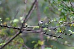 Bar winged flycatcher shrike stock image