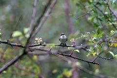 Bar winged flycatcher shrike royalty free stock photo