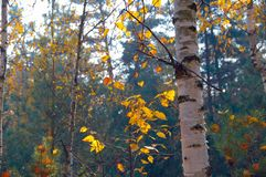 Beautiful shot of a birch tree in a thick forest with golden leaves around during Autumn in Russia
