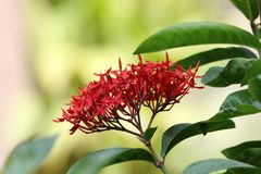 Ixora flowers royalty free stock image