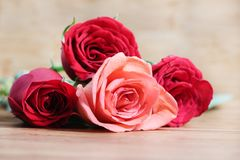 Pink and red roses royalty free stock images
