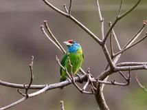 Blue throated barbet Royalty Free Stock Photos