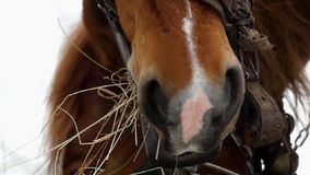Beautiful shot of brown horse. She chews hay in slow motion. stock video footage