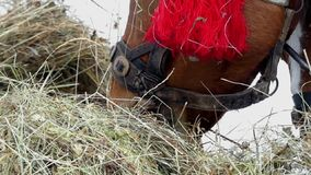 Beautiful shot of brown horse. She chews hay in slow motion. stock video