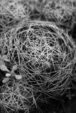 Cactus. Beautiful shot of cactus thorns in black and white Stock Photos