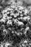 Cactus. Beautiful shot of cactus thorns in black and white Royalty Free Stock Photo