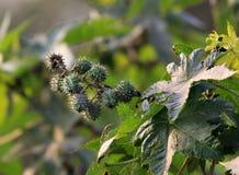Castor fruit Royalty Free Stock Photography