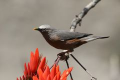 Chestnut starling. Beautiful shot of chestnut starling. small trim myna, brownish silvery grey above, rusty brown below with blackish wing quills stock image
