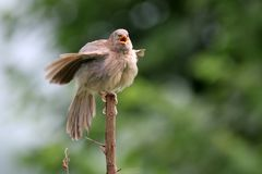Common babbler royalty free stock images