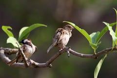 Common house sparrow Royalty Free Stock Photo