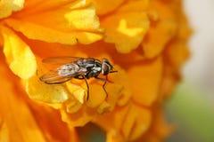 Common housefly macro stock image