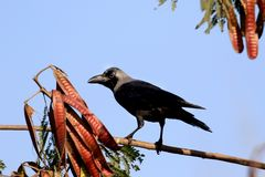 Black crow Royalty Free Stock Photo