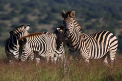 A beautiful shot of a dazzle of zebra Stock Photo
