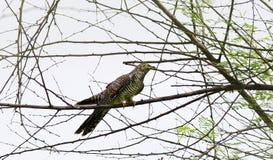 Eurasian cuckoo stock photo