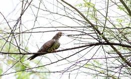 Eurasian cuckoo stock photos