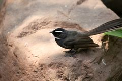 Fantail Royalty Free Stock Photography