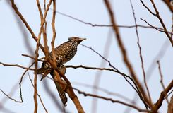 Female asian koel stock photos
