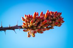 Ocotillo Cactus in Carlsbad Cavern National Park, New Mexico royalty free stock photos