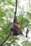 Fruit bat stock images