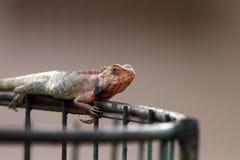 Garden lizard Royalty Free Stock Photo