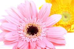 Gerbera flowers royalty free stock images