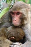 Himalyan monkey Royalty Free Stock Photography