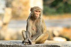 Himalyan monkey Stock Photo