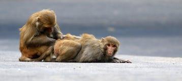 Himalyan monkeys Stock Photos