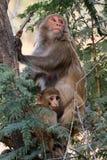 Himalyan monkeys Stock Image
