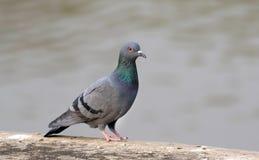 Himalyan pigeon stock image