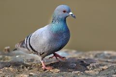 Himalyan pigeon royalty free stock photography