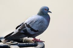 Himalyan pigeon Royalty Free Stock Images