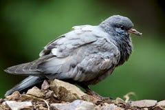 Himalyan rock pigeon royalty free stock image