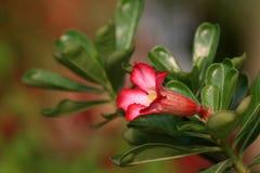Horn flower Royalty Free Stock Photos