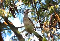 Hornbill bird. Beautiful shot of hornbill bird in jungle Stock Images