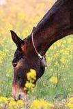 Indian donkey royalty free stock image